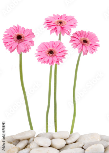 Foto op Canvas Madeliefjes pink gerbera daisies & river rocks - isolated on white