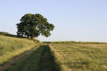 Chemin de terre, arbre isolé et champ d'orge