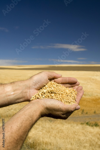 Leinwanddruck Bild n bClose up of hands holding wheat with sky and field