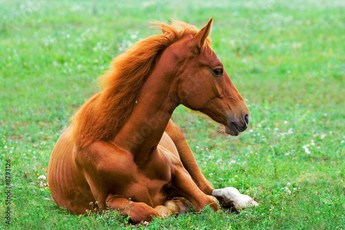 beautiful red horse laying on the grass