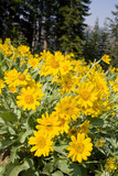 Oregon Sunshine wildflowers blooming in summer poster