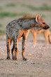 Spotted hyena, Kalahari desert, South Africa