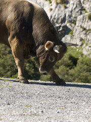 bull attacking
