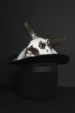 Rabbit in top hat, studio shot