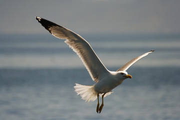 seagull from Croatia