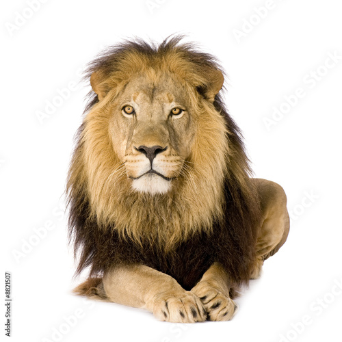 Fotobehang Leeuw Lion (4 and a half years)