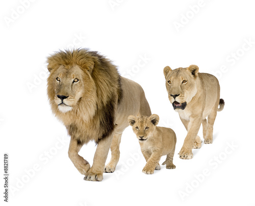 Lion's family in front of a white background