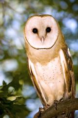 Portrait of a Barn Owl Sitting in a Tree