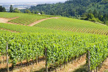 These are grape vines growing in the dundee hills.