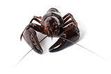 Alive crayfish on white background poster