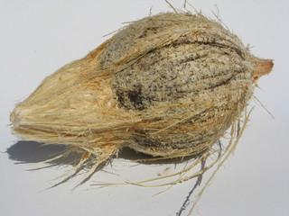 noix de coco décortiquée