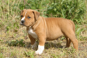 Chiot American Staffordshire