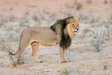 Big, black-maned African lion, Kalahari, South Africa poster