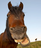 Horse with a sense of humor. poster