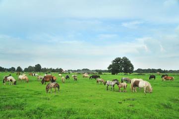American mini horses in green landscape