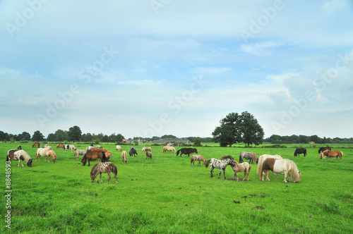 American mini horses in green landscape