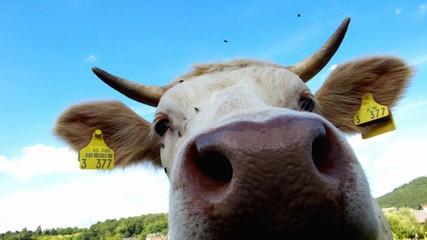 Nase einer Kuh