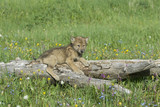 Timber wolf cub near his den in Montana