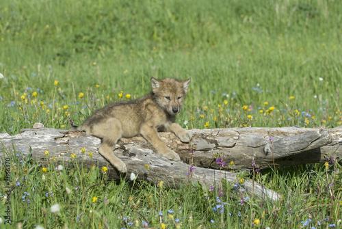 Papiers peints Puma Timber wolf cub near his den in Montana