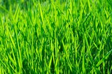 Vibrant green grass background poster