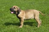 puppy of breed brasilian fila on walk poster
