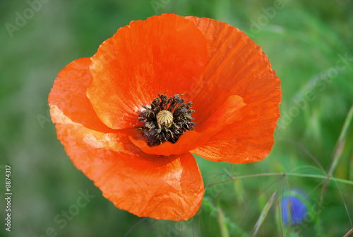 Foto op Canvas Poppy Mohnblume
