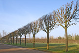 A line of bare trimmed trees in the park poster