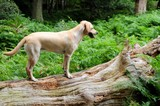 Cute labrador pup exploring the forest poster