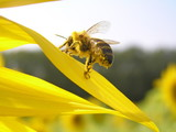 A bee is in pollen. poster