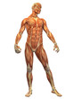 Human Body Muscle - Male Front