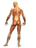 Human Body Muscle - Male Back