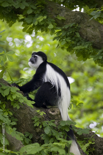 BLACK AND WHITE MONKEY IN TREE