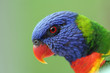 Rainbow Lorikeet Closeup