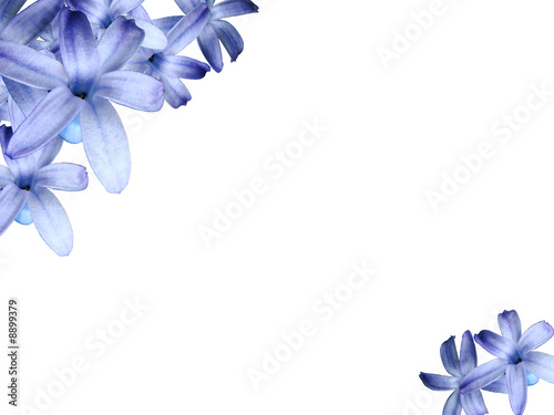 White greeting card background with blue hyacinth flowers.