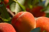 Fuzzy peaches poster