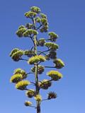 dalmatian vegetation poster