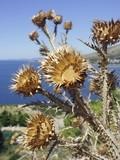 Croatia - dry spiked thistle near bays Adriatic sea poster