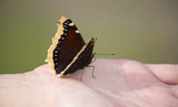 Nymphalis antiopa (Mourning Cloak, Camberwell Beauty), poster