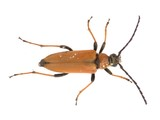 longhorn beetle stained with pollen poster