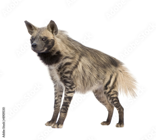 Aluminium Hyena Striped Hyena in front of a white background