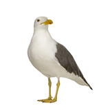 Herring Gull (3 years) in front of a white background