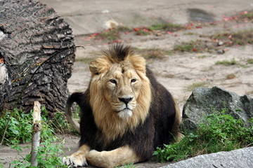 Portrait of a noble male lion lying on ground.