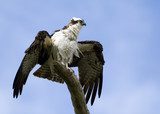 A Magnificent Osprey poster