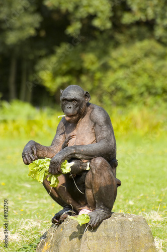 Foto op Canvas Aap Bonobo monkey sitting and eating with baby chimpansee