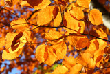vivid fall leaves, shallow DOF poster