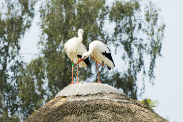 Stork couple sitting on house roof
