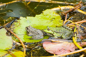 Two frogs on leaf in the pond