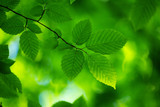 Fototapety green leaves