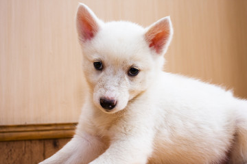 little white puppy
