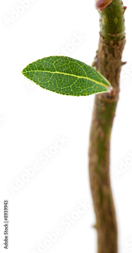 Laurel little green leaf on a young sprout, isolated